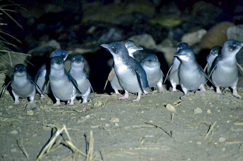 Little Blue Penguins, Blue Penguin Pukekura (image courtesy of Blue Penguin Pukekura)