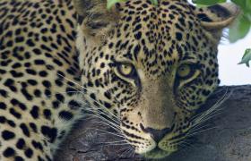 Sabi Sabi Leopard